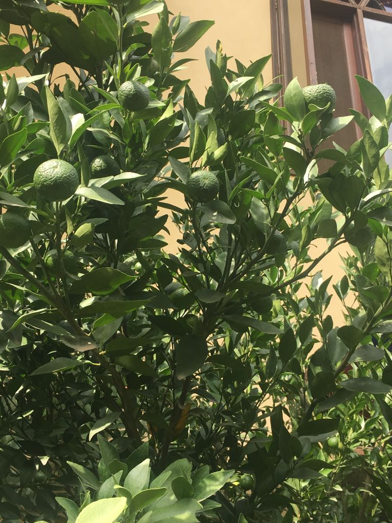 oranges sprouting at The Orchard Peora Uttarakhand