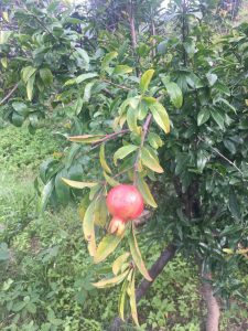 Pomegranates sprouting at The Orchard Peora Uttarakhand