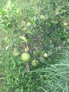 Pomelo sprouting at the orchard peora